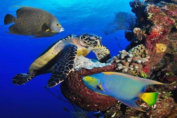 turtle and angelfish cozumel